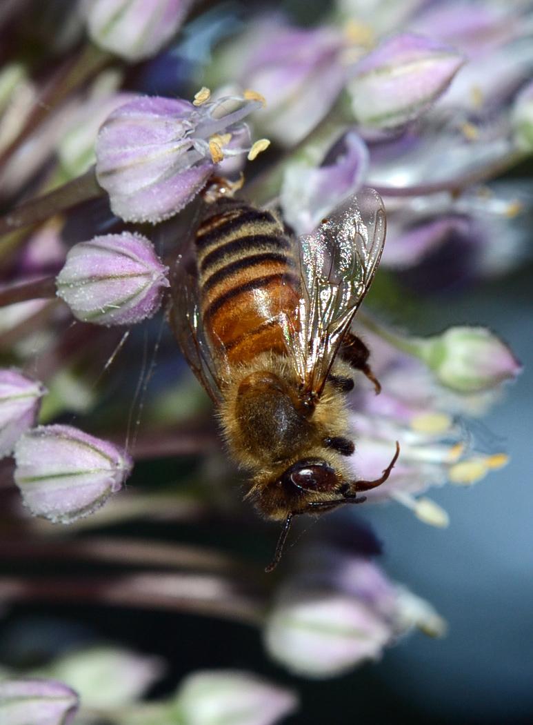 Bee Study -011A-