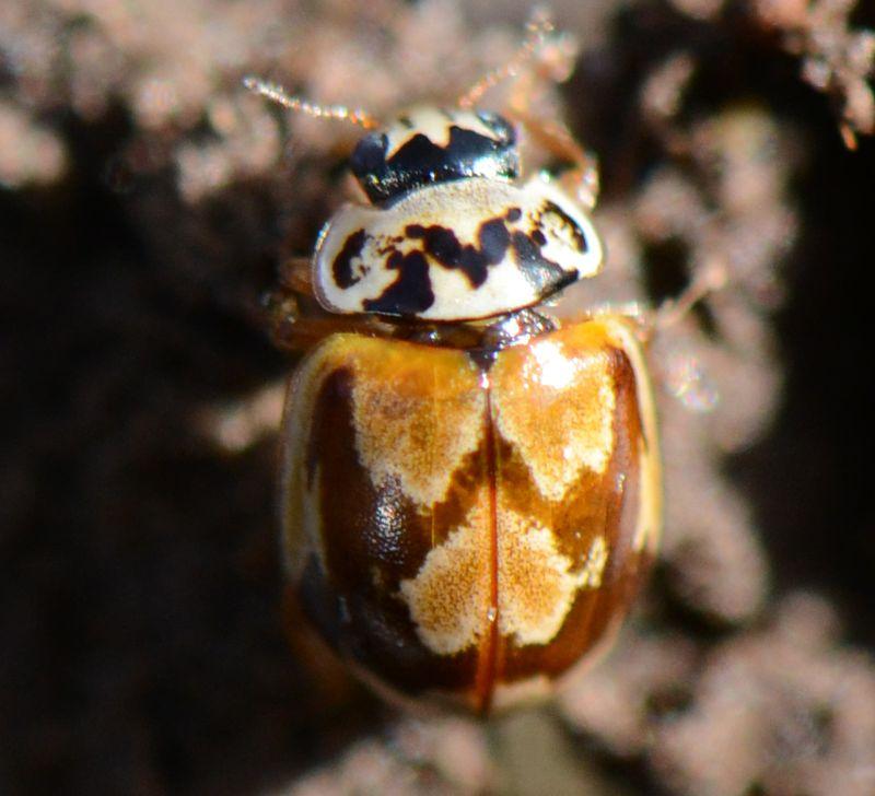 Pine Lady Bug -07 b-