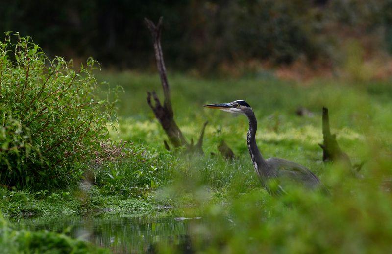 Hidden Heron