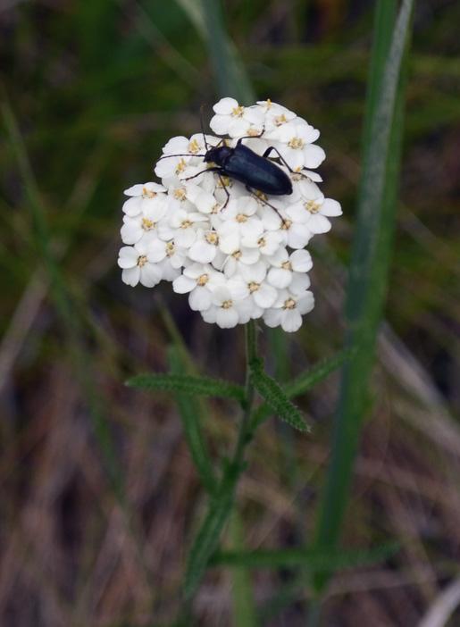 Beetle LR