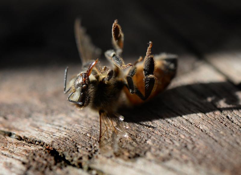 Bee Corpse