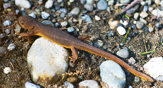 Rough Skinned Newt lr
