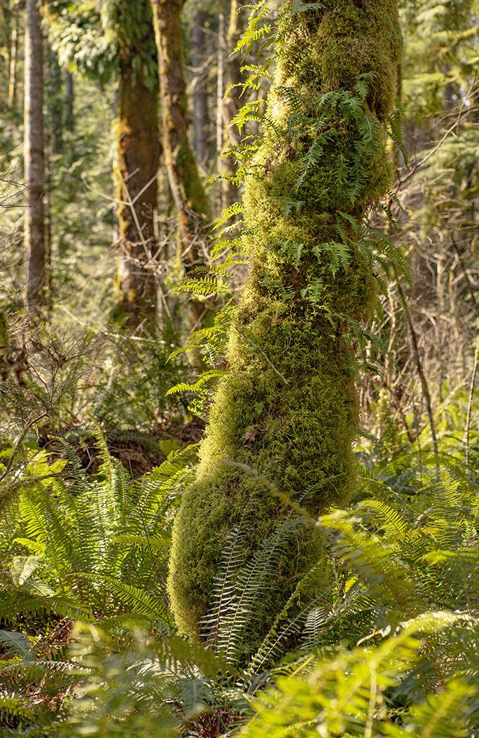 Fern Tree lr